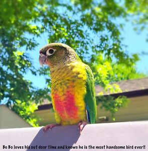 Very tame young yellow-sided Conure