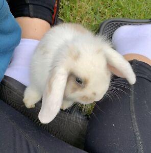 Mini lop bunny boy