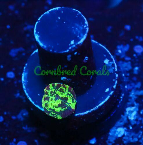 Cornbred's Kryptonite Mushroom - WYSIWYG - Frag - LIVE CORAL