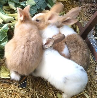 FLEMISH GIANT RABBITS 8 or 10 wks (unrelated) $40