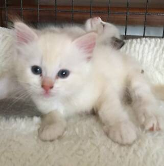 Ragdoll Kittens Cats Amp Kittens Gumtree Australia Free