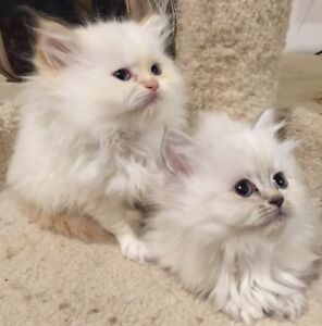 Two extremely adorable Pure breed Himalayan kittens