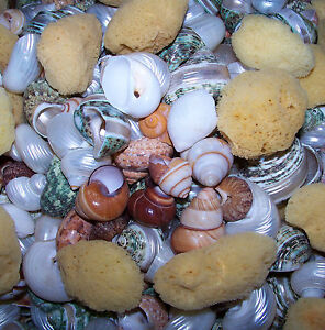 10 - ASSORTED SNAIL & TURBO SHELLS HERMIT CRAB & SPONGE CRAFTS WEDDING DECOR