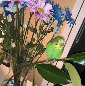GREAT BUDGIE LOOKING FOR A GOOD HOME!