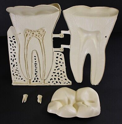 1973 Vintage The Mighty Molar Anatomically Accurate Construction Kit Lindberg