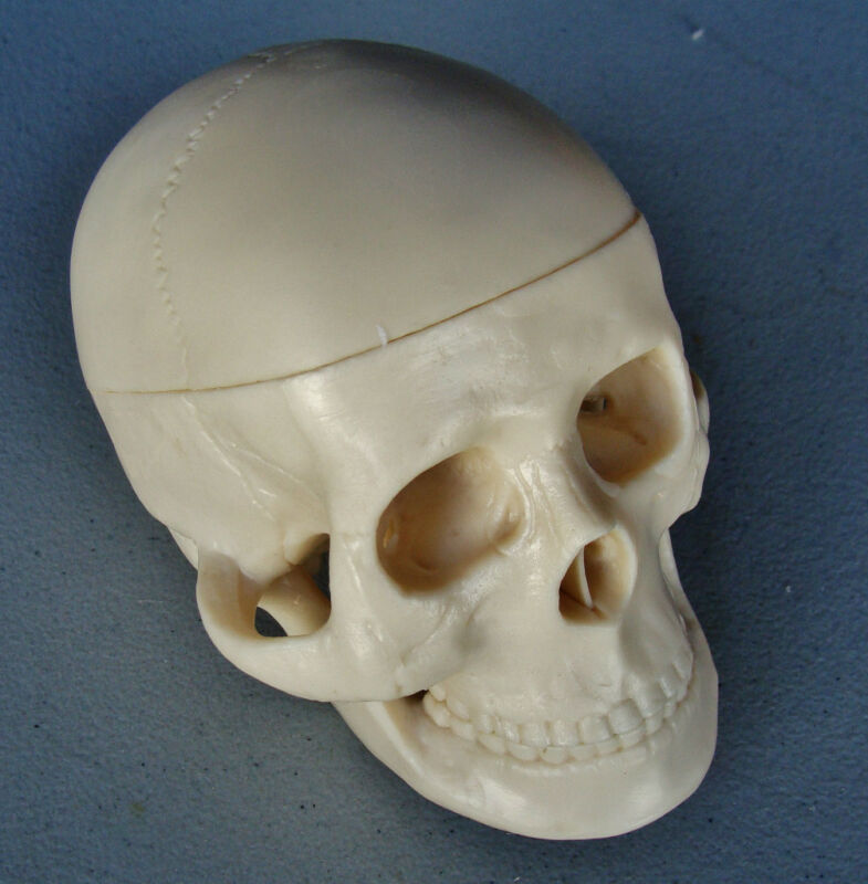 Model Anatomy Professional Medical Miniature Skull New  IT-112 ARTMED
