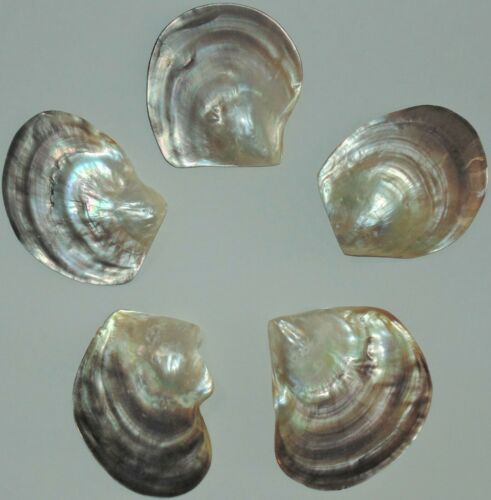 """3 to 3-1/2"""" POLISHED MOTHER OF PEARL BLACK LIP OYSTER, SEA SHELLS BEACH DECOR"""