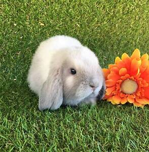 RESERVE YOUR BUNNY READY FOR CHRISTMAS Perth Region Preview