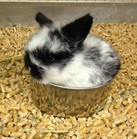 Baby Holland Lops and Netherland Dwarf