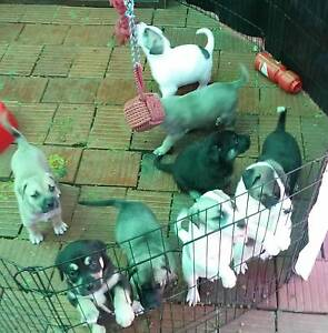 American bulldog x staffy puppies Modbury North Tea Tree Gully Area Preview