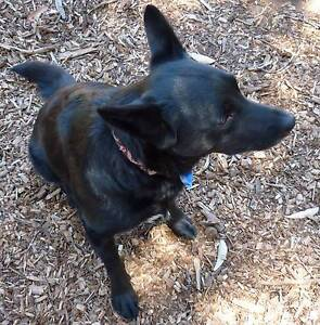 Dog walking Mt Lawley/ Yokine areas Mount Lawley Stirling Area Preview