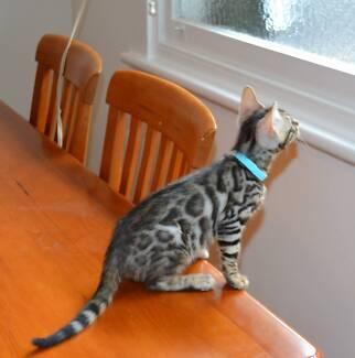 Purebred pedigree registered Bengal kittens