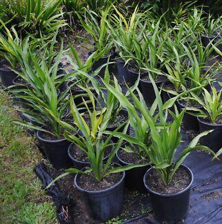 Gymea Lily-Doryanthus Excelsa