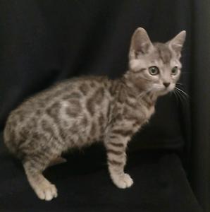 Bengal kitten female