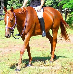 x 14 QUIET BEGINNERS HORSES & OTHER HORSE & PONIES FOR SALE Beaudesert Ipswich South Preview