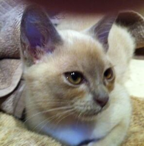 Lost/Stolen Lilac Burmese Cat Forestville Warringah Area Preview