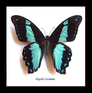 BUGS AND BUTTERFLIES - FRAMED INSECT TAXIDERMY - Papilio bromius