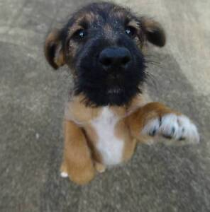 jagd hunting terrier x foxterrier forsale Atherton Tablelands Preview