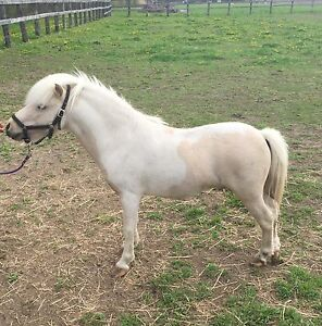 Shetland pony to sell or trade