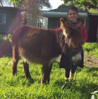 Super cute mini donkey jack 13 months