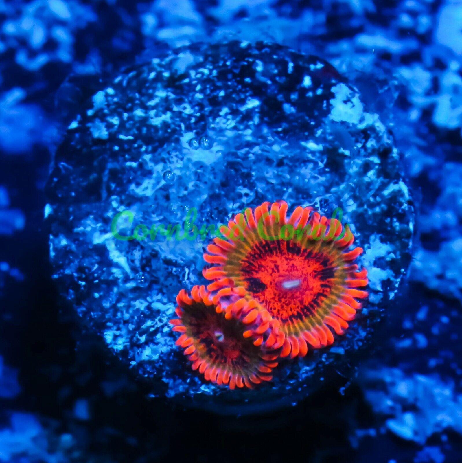Cornbred s Speckled Krakatoas - Frag - LIVE CORAL - $74.99