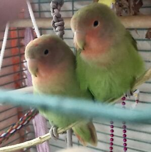 Baby love birds pair