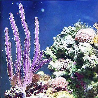Rare Purple Cactus Photosynthetic Gorgonian Live Frag Macro Algae Coral Reef