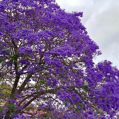 Paulownia elongata Blauglockenbaum Kiribaum Winterhart bis ca. - 20 Grad -