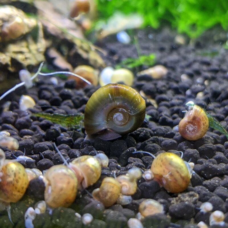 10+ Multicolor Ramshorn Snails Live Freshwater Aquarium - Feeders, Algae Control