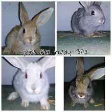 Rex rabbits ready to go this week Elizabeth Playford Area Preview