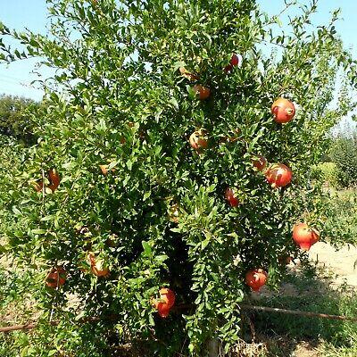 Punica granatum Der Granatapfel Baum - winterhart