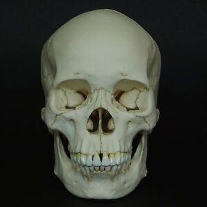 Adult Skull 41