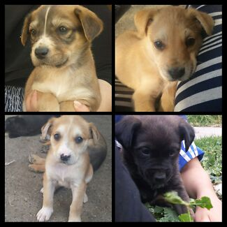 GREAT DANE X PUPPIES EXPRESSIONS OF INTREST Glenroy Moreland Area Preview