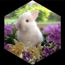 Purebred Netherland Dwarf Rabbits For Sale Medowie Port Stephens Area Preview