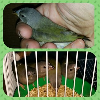 Baby Gouldians Mindarie Wanneroo Area Preview