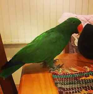 Male Eclectus Parrot 4yo with cage and extras. Mill Park Whittlesea Area Preview