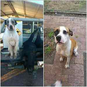 Bul arab x puppies ready next weekend! Gympie Gympie Area Preview