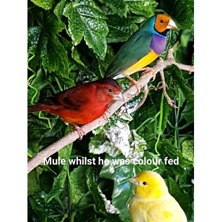 Red siskin / canary  Mule