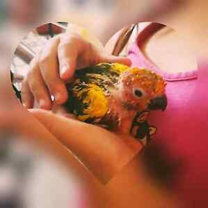 Sunconure baby handreared last one 500 Howrah Clarence Area Preview