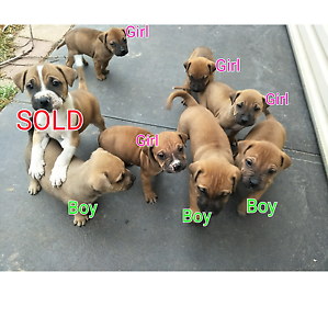 Staffy x puppies Andrews Farm Playford Area Preview