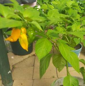 Scorpion Cardi yellow Chilli plants