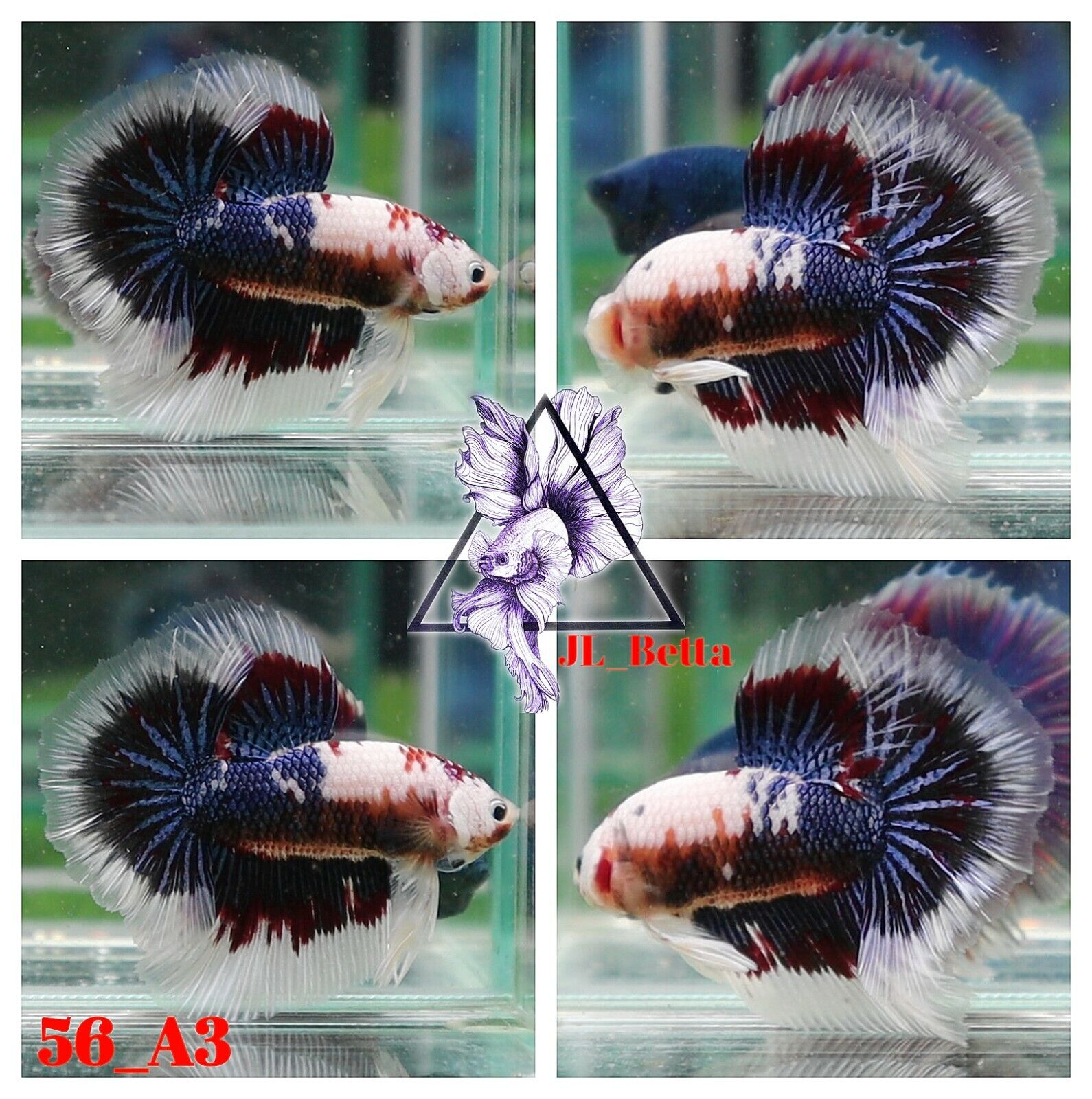 56 A3 Live Betta Fish High Quality Male Fancy Over Halfmoon Video Included  - $29.00