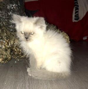 Ragdoll Kittens, only 1 left