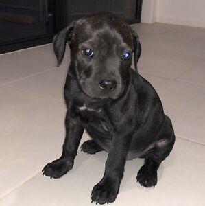 American Staffordshire cross English Staffordshire terrier one left