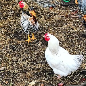 Roosters- free to good home Carrick Meander Valley Preview
