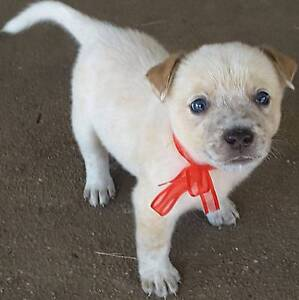 Red cattle dog puppies El Arish Cassowary Coast Preview