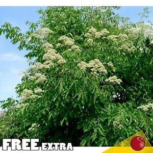 BEE TREE Evodia Hupehensis - 20+EXTRA seeds. FAST GROWER!