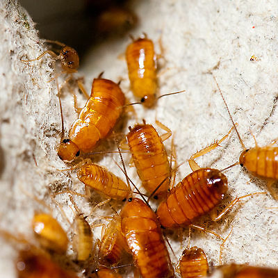 50 x Small Turkistan Nymphs Cockroaches Roaches Livefood Red Runner
