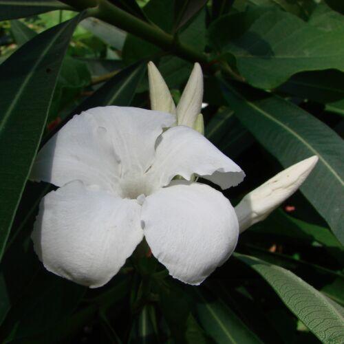 chilean jasmine 50 seeds seeds mandevilla suaveolens laxa fragrance ranker ebay. Black Bedroom Furniture Sets. Home Design Ideas