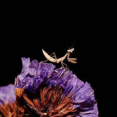 L2/L3 Egyptian Praying Mantis Miomantis paykullii Live Bugs Creatures nymphs